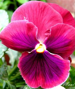The Beautiful Pansy