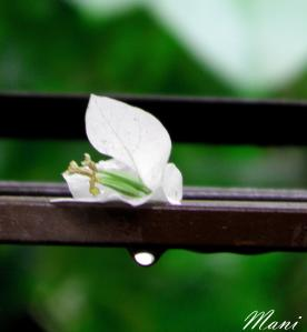 Tears of The Fallen Flower